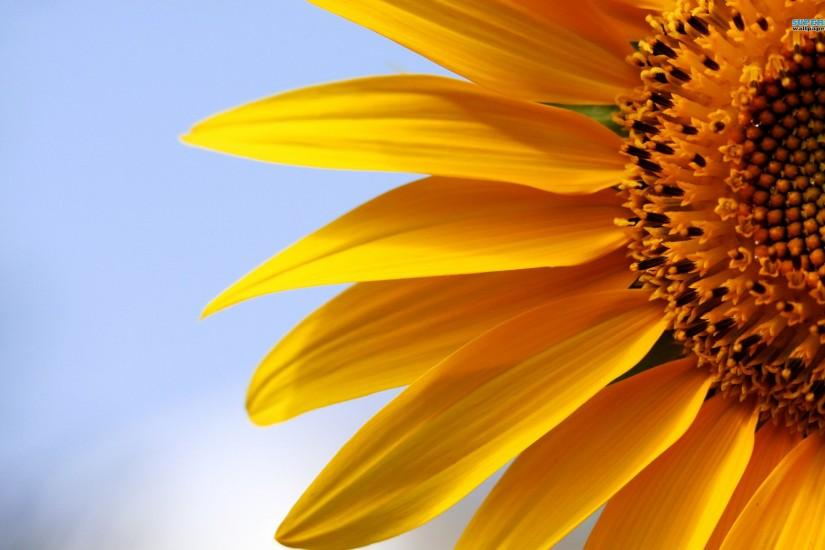 widescreen sunflower wallpaper 1920x1200