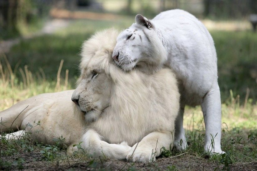 wallpaper.wiki-White-Lion-Picture-PIC-WPE003737