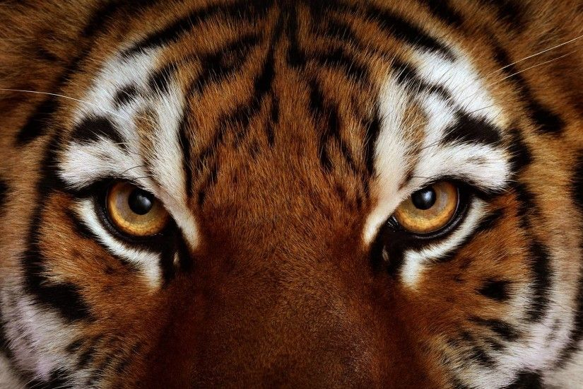 Pix For > Angry Tiger Face Wallpaper
