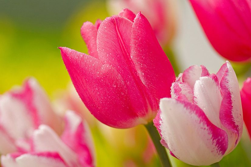 pink tulip flowers images and wallpapers desktop wallpapers high definition  monitor download free amazing background photos artwork 1920×1200 Wallpaper  HD
