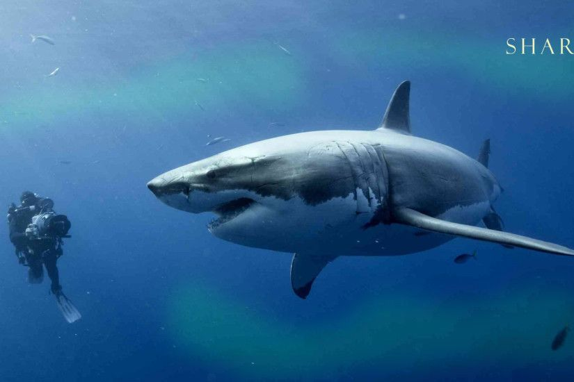 Best Shark Wallpapers and Backgrounds. Free Shark Wallpaper. Great White  Shark Wallpaper