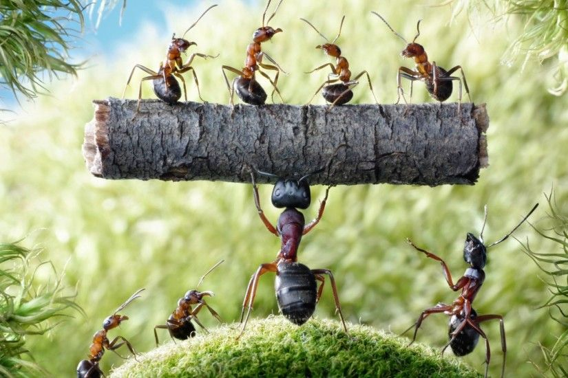 Hercules Ant wallpapers and stock photos