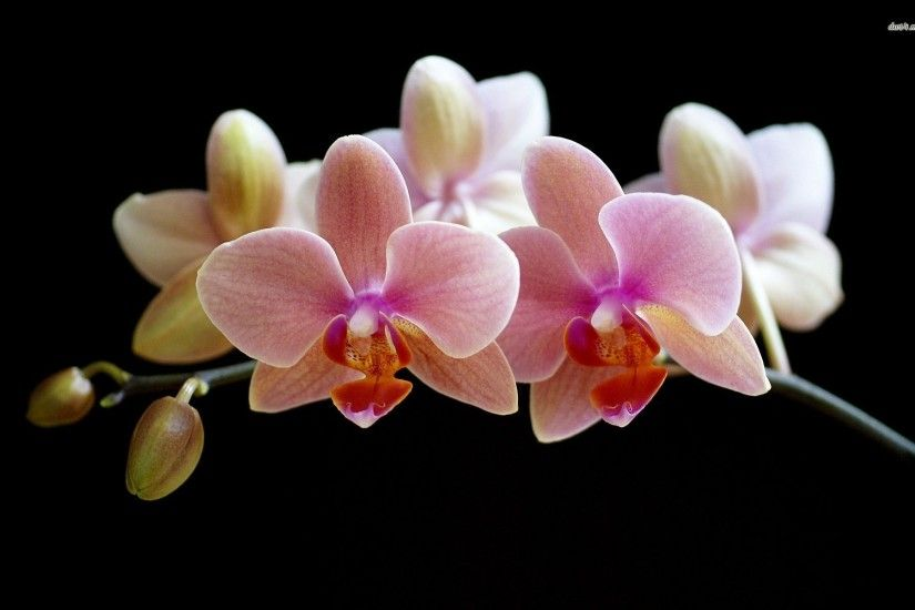 Tags: 1920x1200 Orchid