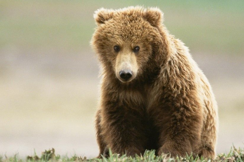 Beauriful Bear Animals Wallpapers