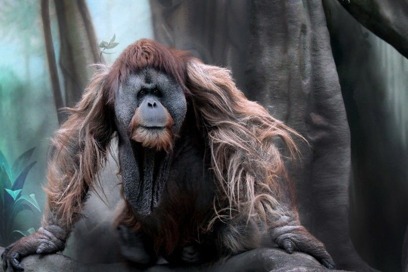 Beautiful orangutan