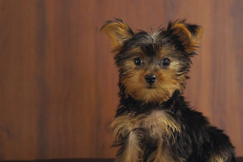 3840x2160 Wallpaper yorkshire terrier, dog, puppy, look