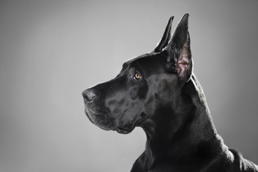 3 Great Dane Wallpapers | Great Dane Backgrounds