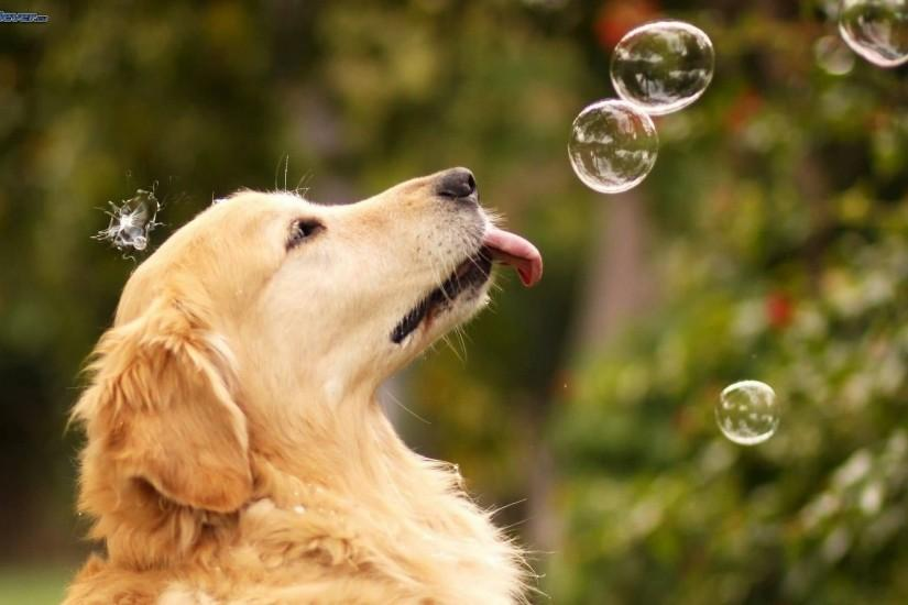 ... Lovely Golden Retriever Dog With Beautiful BAckground