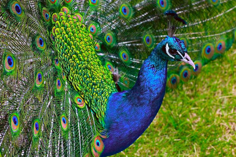 Most Indian Peacock hd wallpaper full screen fresh images and photos