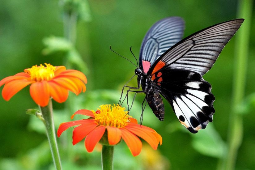 hd pics photos best attractive black butterfly flowers macro nature hd  quality desktop background wallpaper