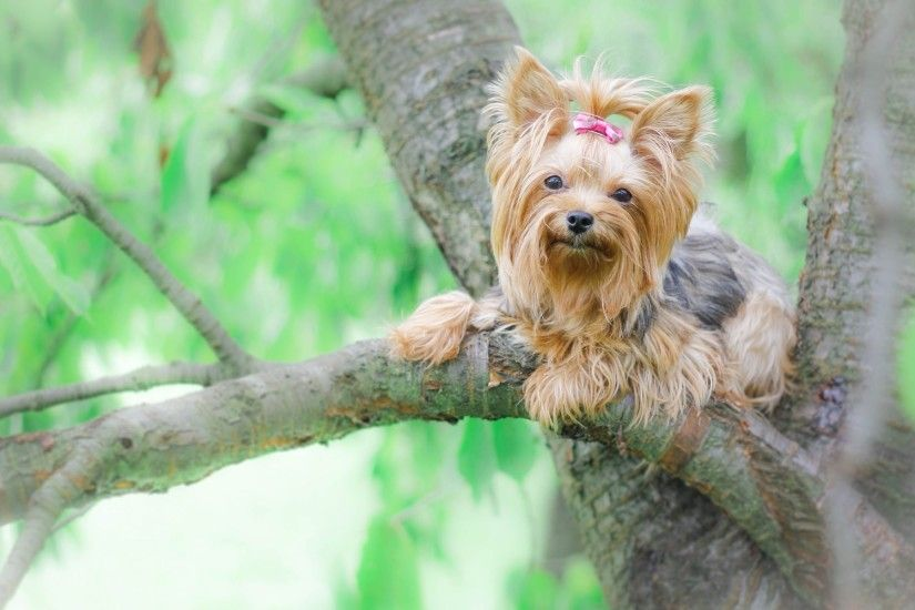 Yorkshire Terrier Wallpaper 60183