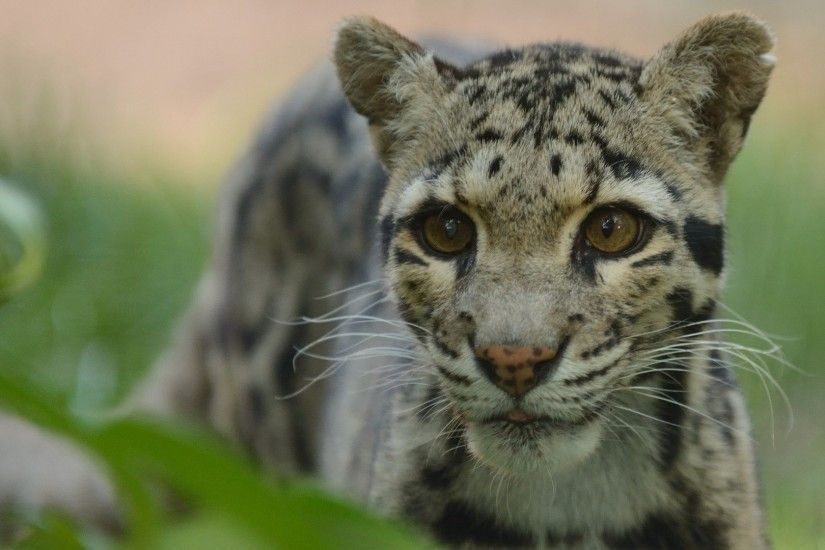 3840x2160 Wallpaper clouded leopard, face, spotted, climbing