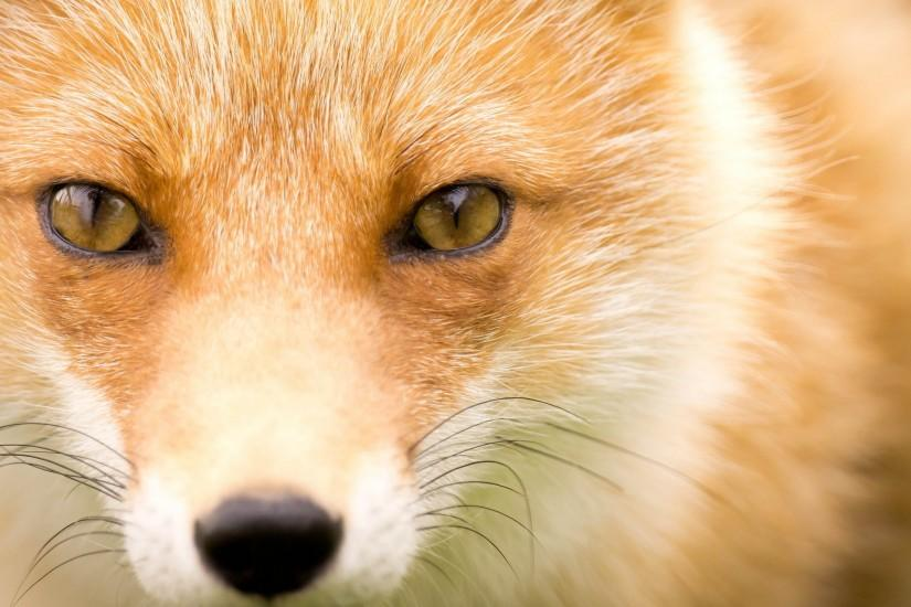 vertical fox wallpaper 2560x1440