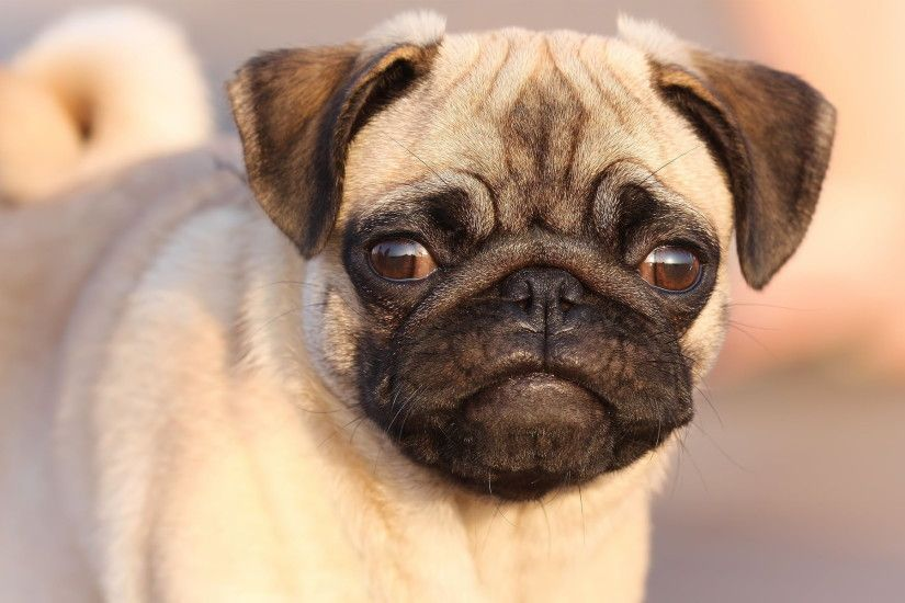 fawn pug puppy HD wallpaper