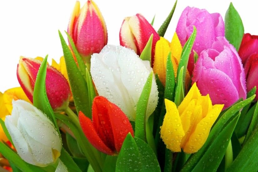 Gorgeous White Yellow Pink And Red Tulip Flowers Wallpaper