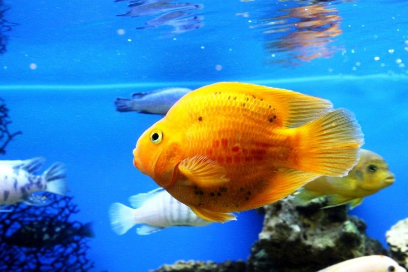 Cool Aquarium Backgrounds Images : Cool Aquarium Backgrounds Golden Fish in  the Aquarium