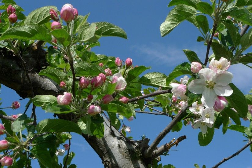 apple blossom time Apples blossoms blue sky flowering flowers fruit-trees  leaves spring Trees HD