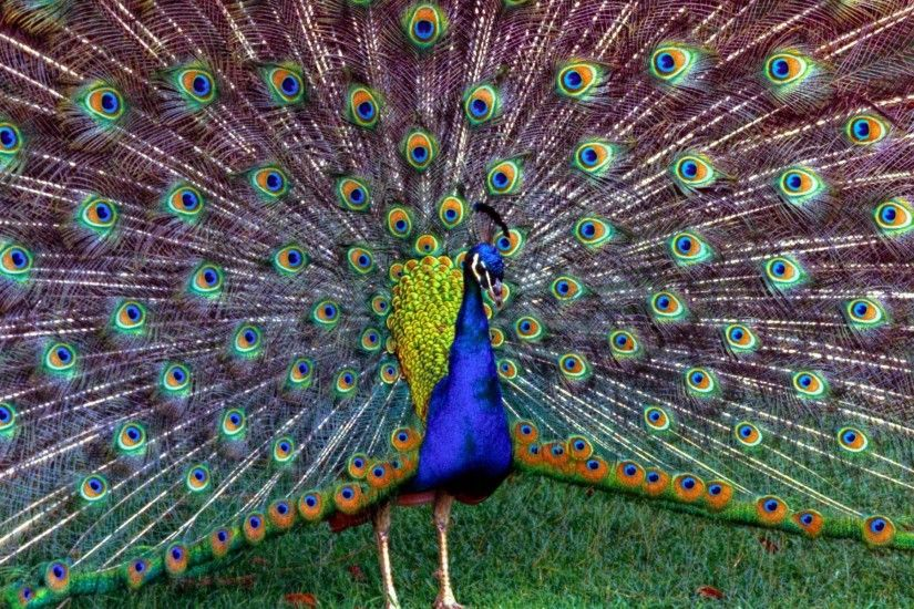 Desktop Peacock HD Wallpapers | PixelsTalk.Net