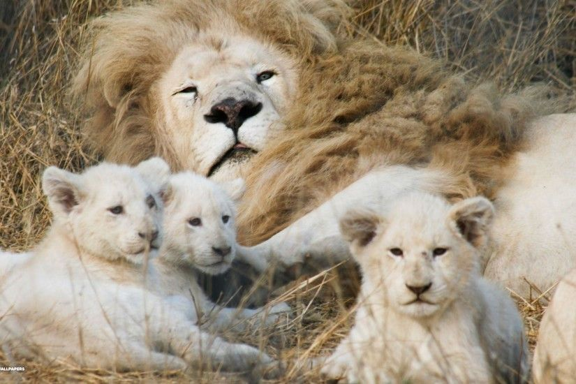 White Lion Cubs Wallpapers and Background