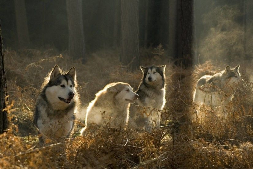 Siberian Husky Wallpaper Background