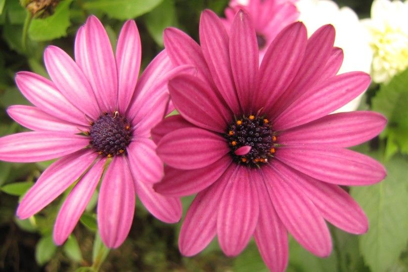 Earth - Daisy Earth Flower Pink Flower Wallpaper