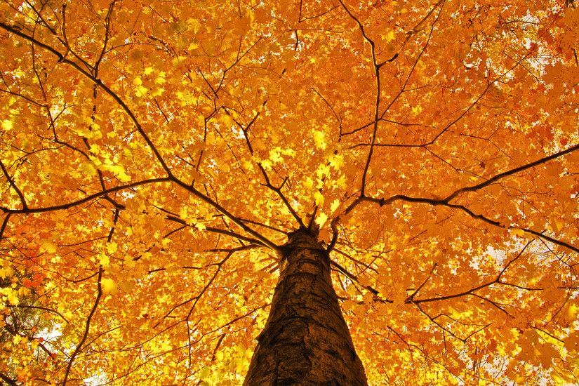 top, trees, fall, leaves, amazing nature, foliage, color, limb seasons,  autumn,hd nature wallpapers, branches, yellow, high definition,nature,  smells, ...