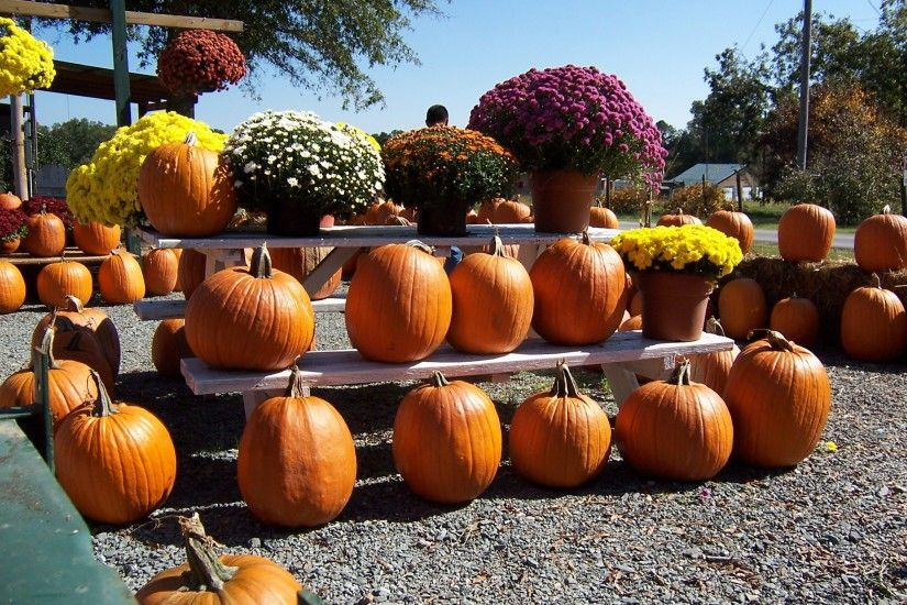 fall harvest produce autumn pumpkin halloween season calabaza carving  october pumpkins fall season man made object