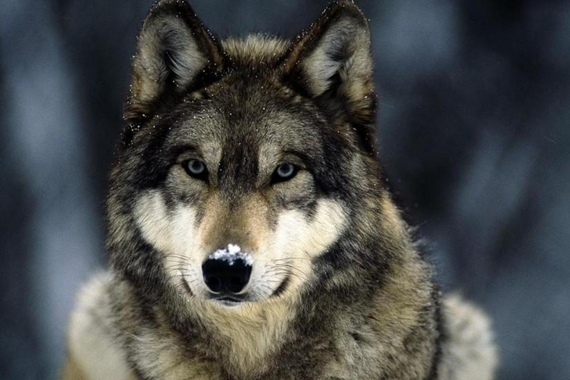Wallpapers wolf wallpaper reptile animals artleo 1920x1080 px .
