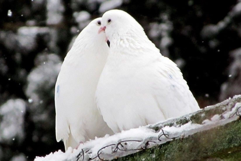 1920x1080 Wallpaper pigeons, birds, feathers, snow