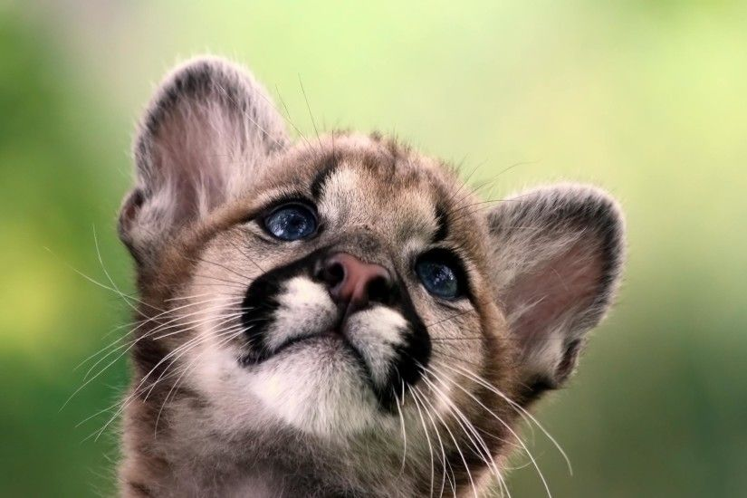 ... Cub Wallpaper Download Wallpaper 3840x2400 Puma, Cougar, Mountain lion,  Big cat .