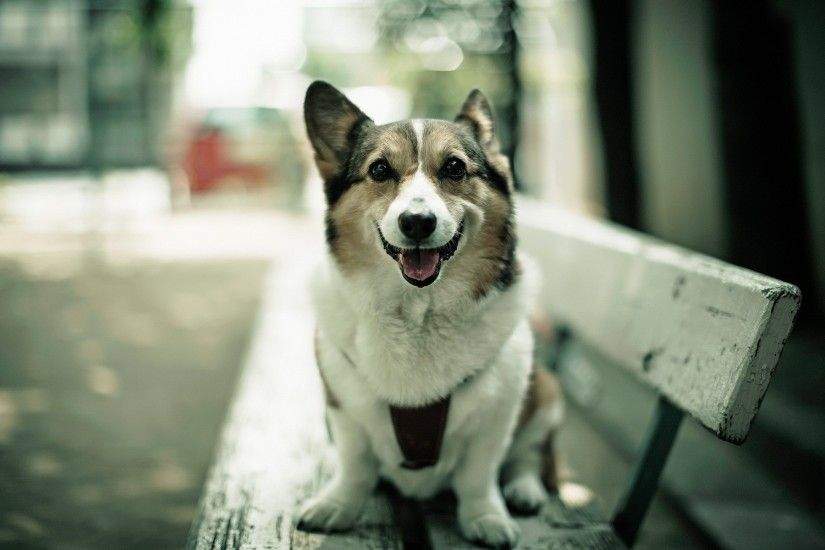 wallpaper.wiki-HD-Corgi-Wallpaper-PIC-WPB0012102