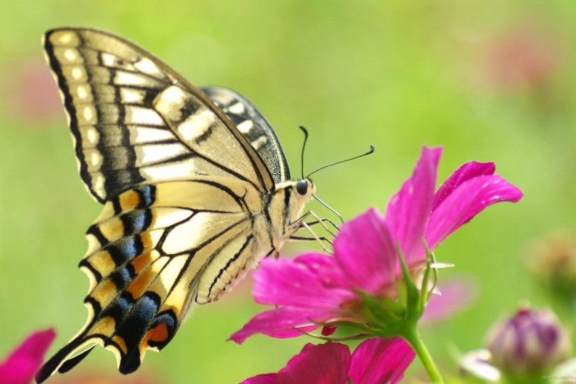 Butterfly On Pink Flower Desktop Wallpaper picture