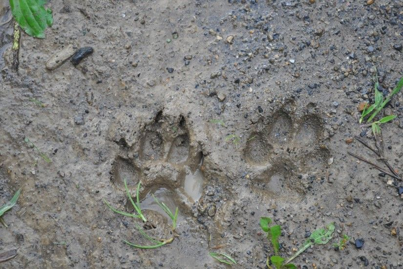 dog paw print on soil