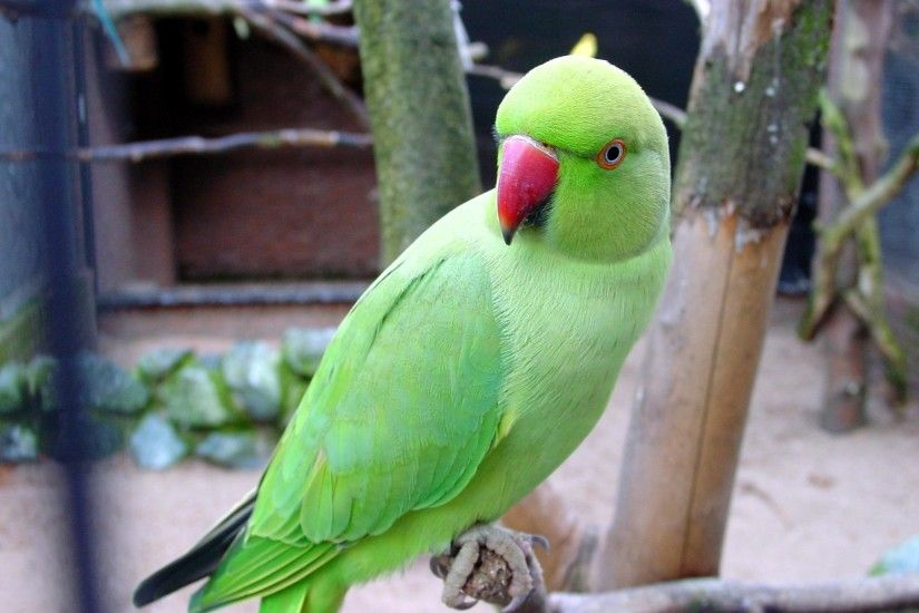 Green Parrots Wallpaper
