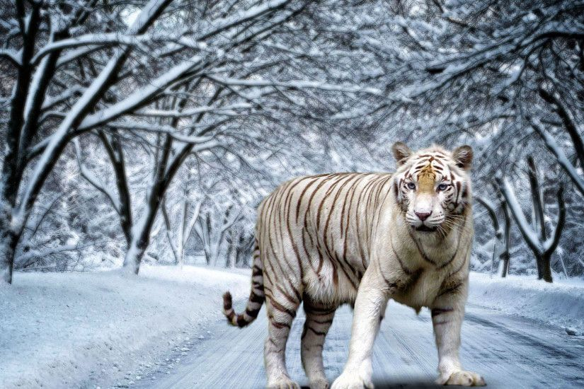 In Gallery Tiger Wallpapers Tiger HD Wallpapers Backgrounds
