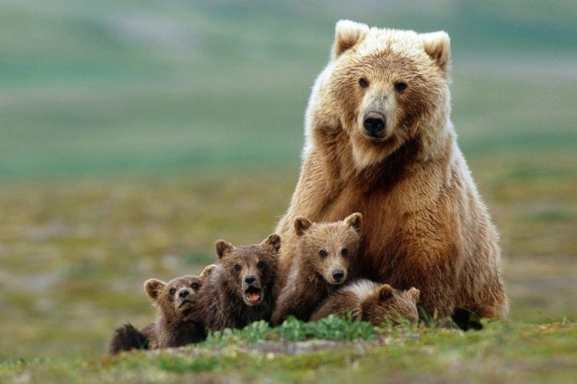... kodiak bear wallpaper bears animals 37 wallpapers hd wallpapers ...