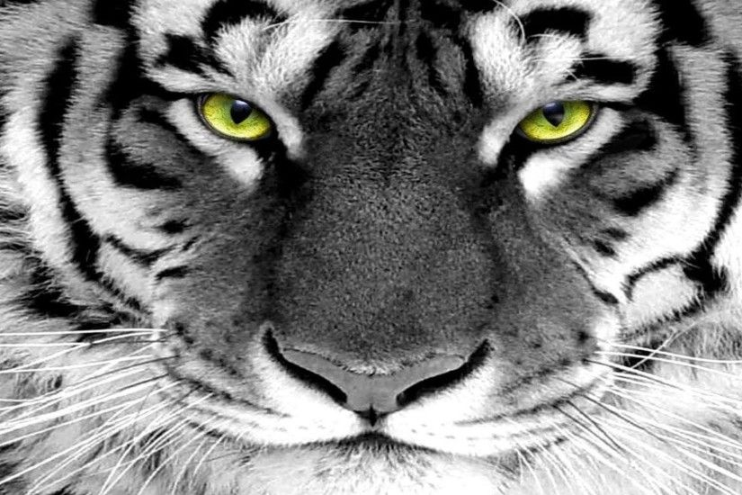 Tiger eyes green tiger eye white tiger free desktop background .