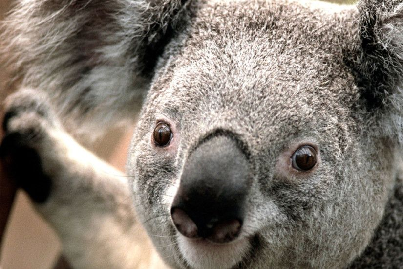 Koala HD Wallpapers