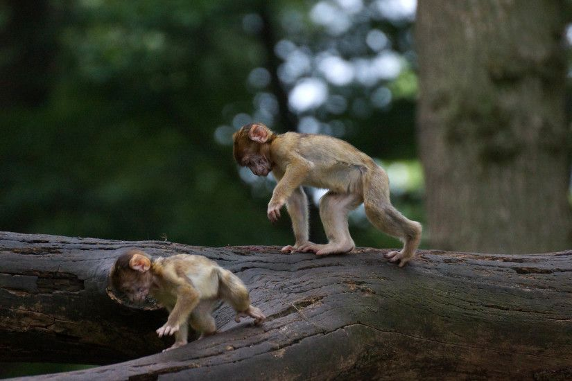 2560x1600 Monkey Wallpapers HD Pictures One HD Wallpaper Pictures | HD  Wallpapers | Pinterest | Monkey