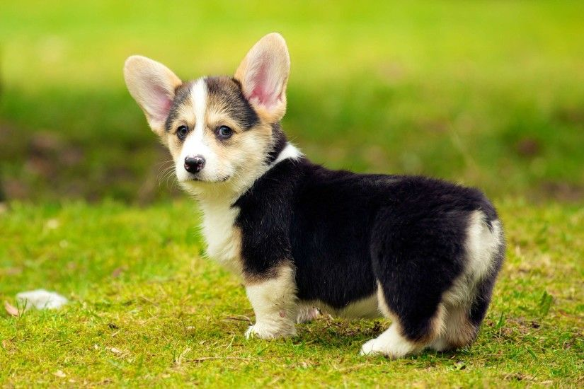 Cutest Pembroke Welsh Corgi Puppies Wallpaper