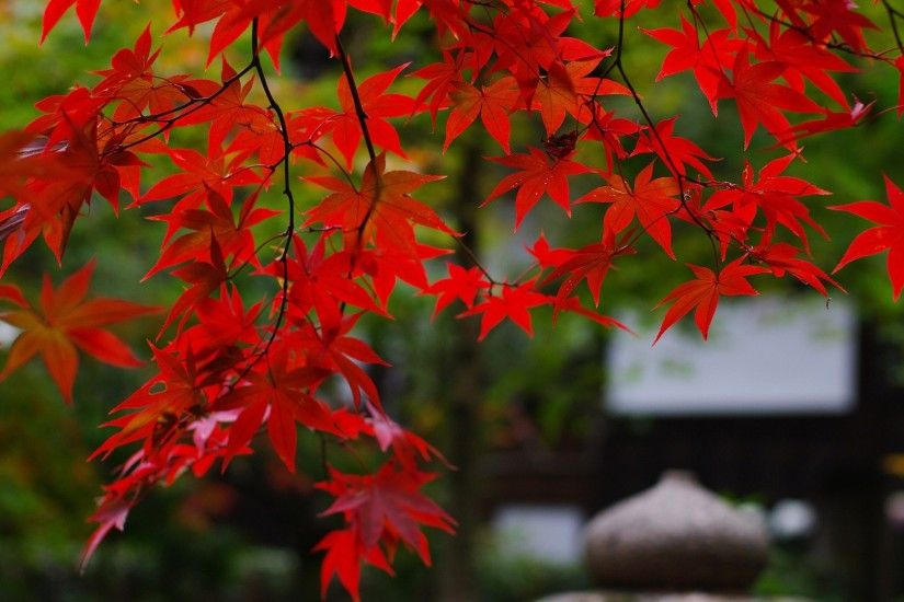 Autumn Leaves Of Red Maple Tree Wallpaper - Resolution px