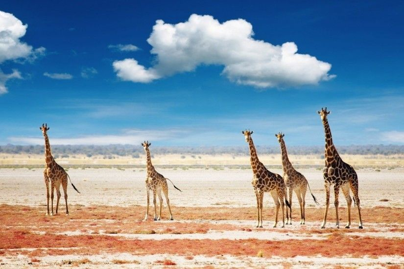 Cute Beauty Family Amazing Animal Giraffe Wallpapers Christmas Animals  Detail
