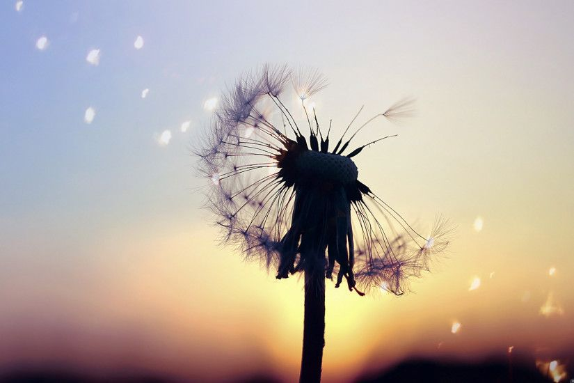 ... dandelion-drawing-wallpaper-3.jpg ...