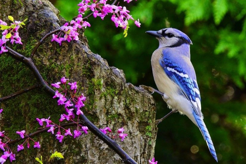 Flora, Blue Jay, Animal, Flower, Wildlife HD Wallpaper, Animals Picture,  Background and Image