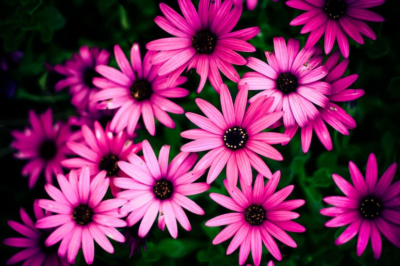 High Resolution Pink Daisy Flower Background. Awesome Pink Daisy Wallpaper