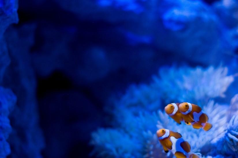 Clown Fish Aquarium