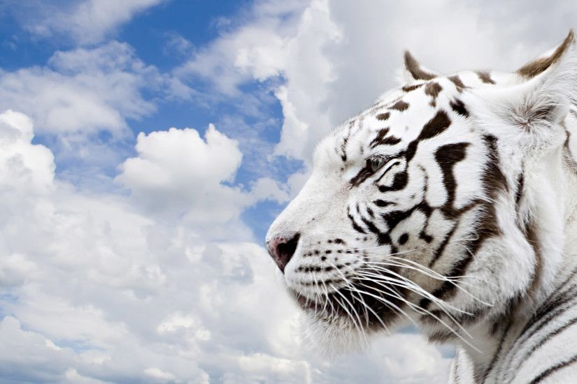3d white tiger wallpaper hd tiger wallpapers