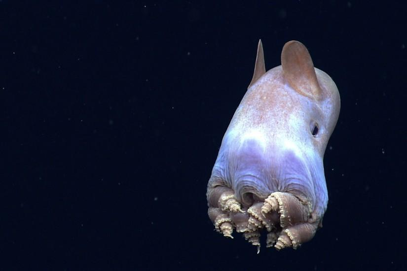 Dumbo Octopus widescreen wallpapers