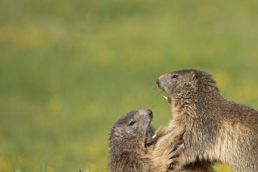 ... Groundhog Wallpapers - Wallpaper Cave Marmot HD Desktop Wallpapers |  7wallpapers.net ...
