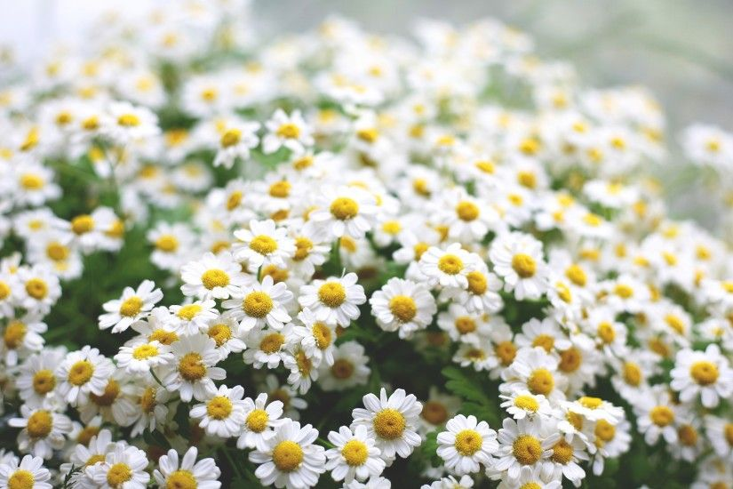 Daisies Flowers Morning HD Wallpaper is a awesome hd photography. Free to  upload, share